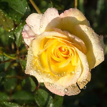 Rose and Rain - a Perfect Blend of Yellow and Pink by GeorgiaM