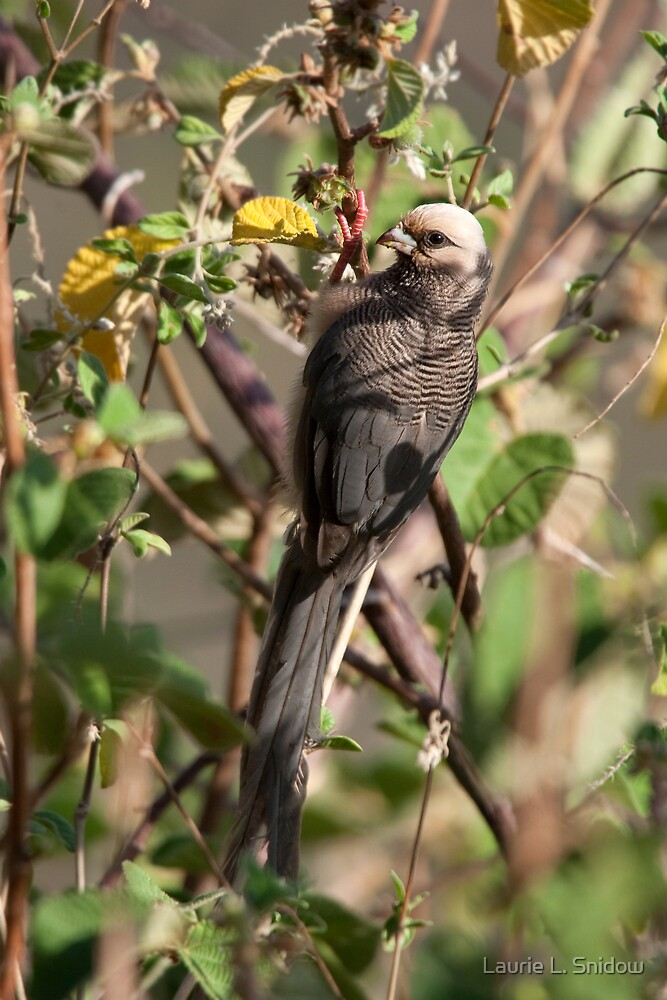 White-headed Mousebird by Laurie L. Snidow