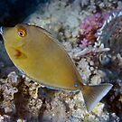 Red Sea Bluespine Unicornfish by hurmerinta