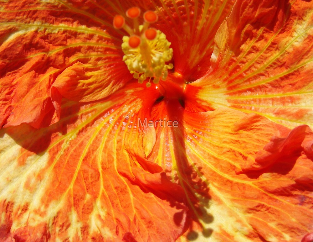 Orange-Red Hibiscus-(Macro) by Martice