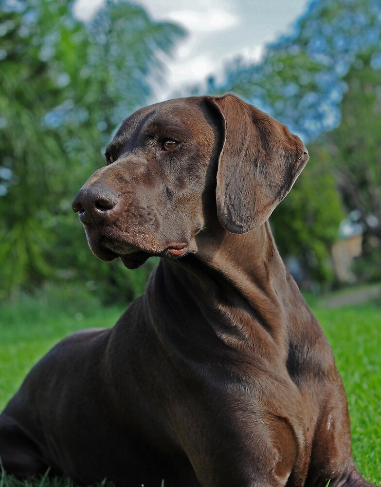 Ruger my German Shorthaired Pointer by rugerfly