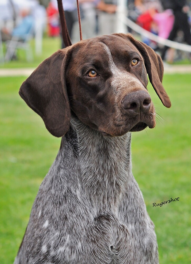 Amos, German Shorthaired Pointer Portrait by rugerfly