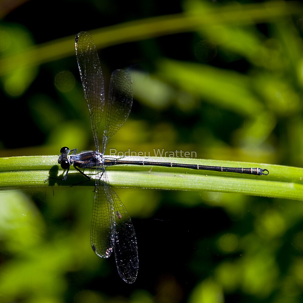 Dragon Fly by Rodney Wratten