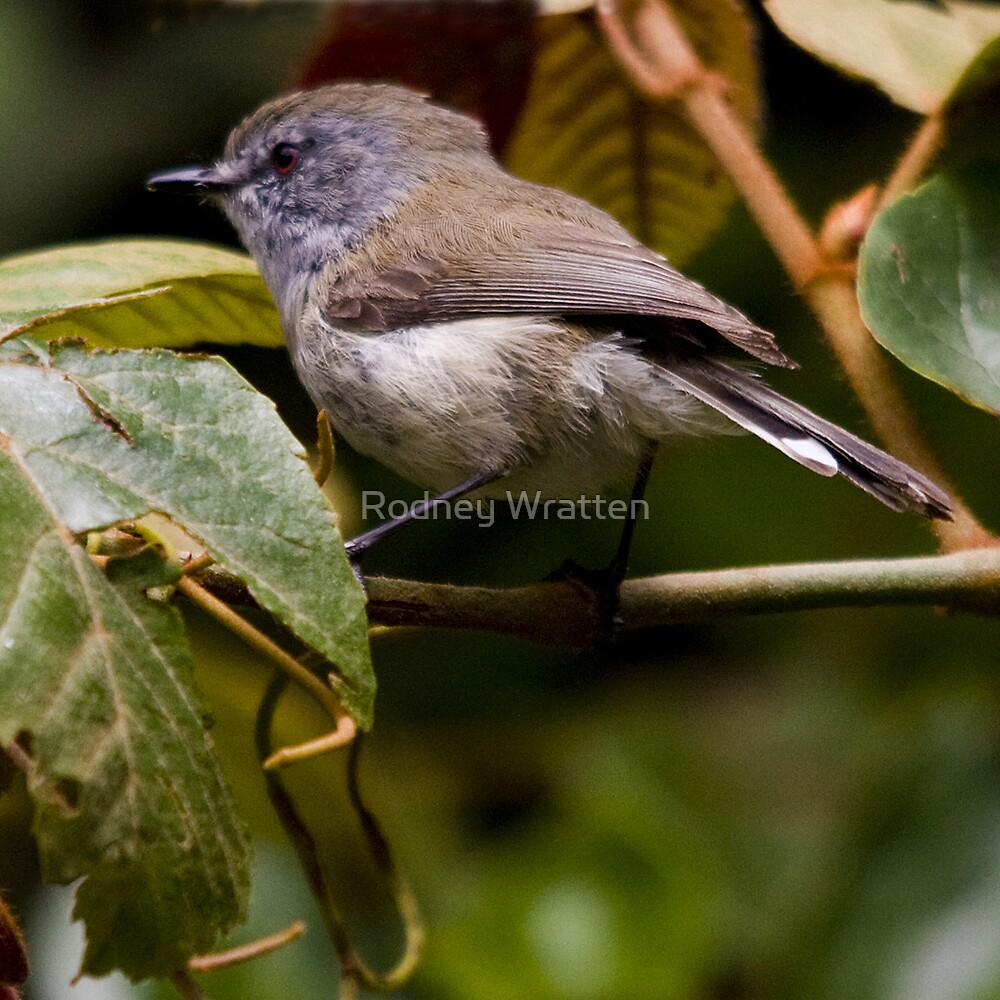 Small Bird by Rodney Wratten