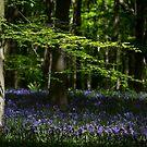 Beech and Bluebells by Martin Griffett