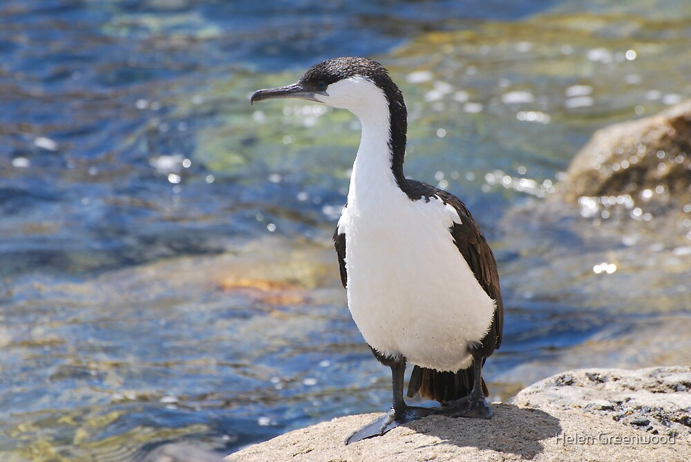 Cormorant by Helen Greenwood