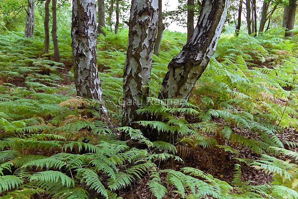Birch amoung the Ferns 02 by Gary Rayner