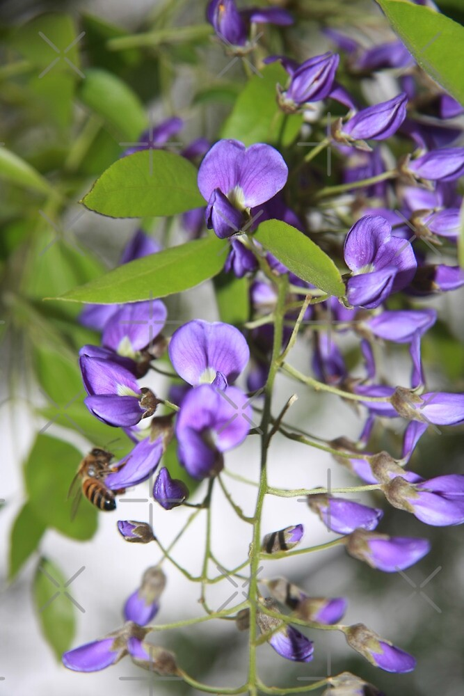 HUNGRY BEE ON TREE WISTERIA by Justine Walke