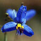 Blue Flax Lily #1 (Dianella caerulea) by Bev Pascoe