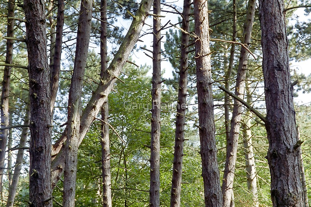 Conifer Trunks by Gary Rayner