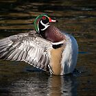 Wood Duck wing flap by Eivor Kuchta