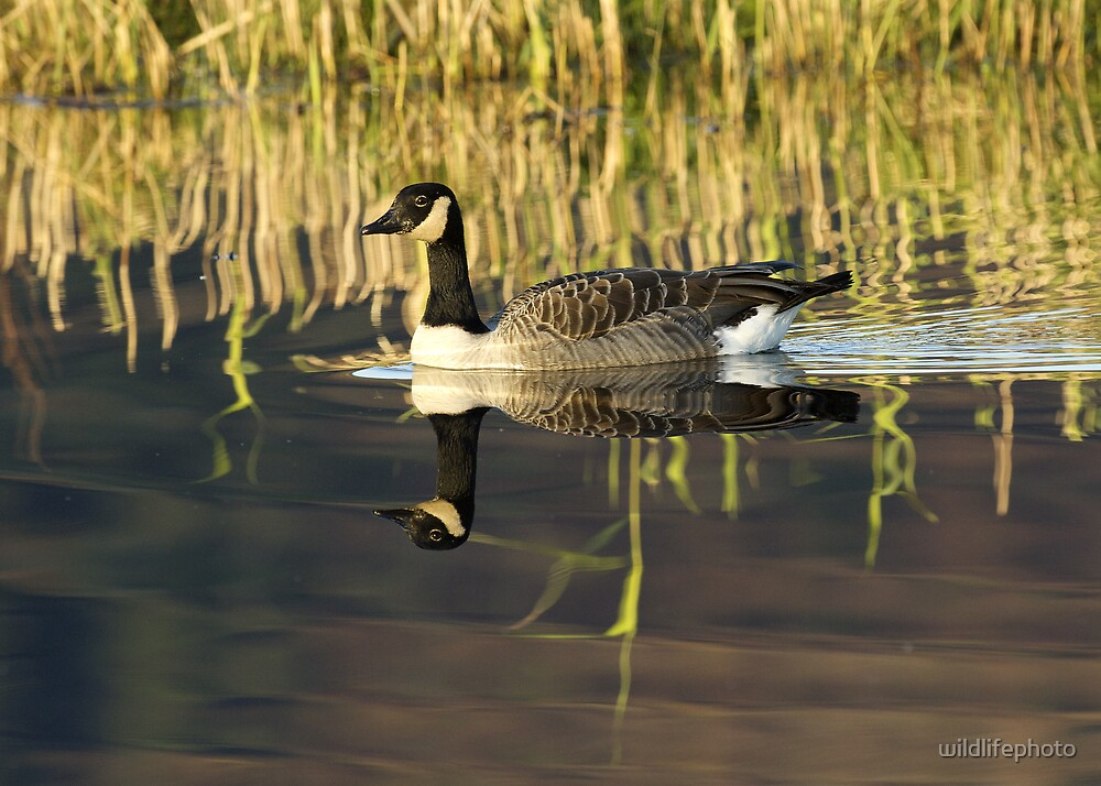 Canada Goose in evening light by wildlifephoto