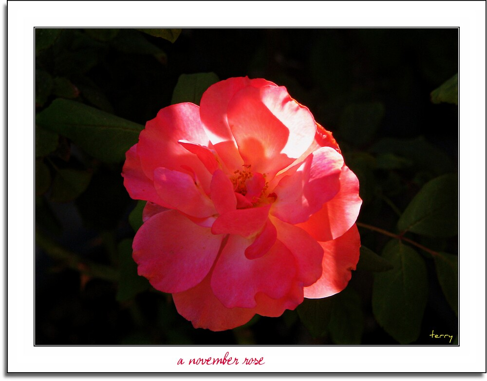 A November Rose by Terry Temple