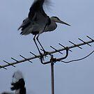 Heron v Magpie by Sharon Perrett