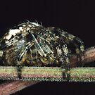 Garden Spider resting . by SWEEPER