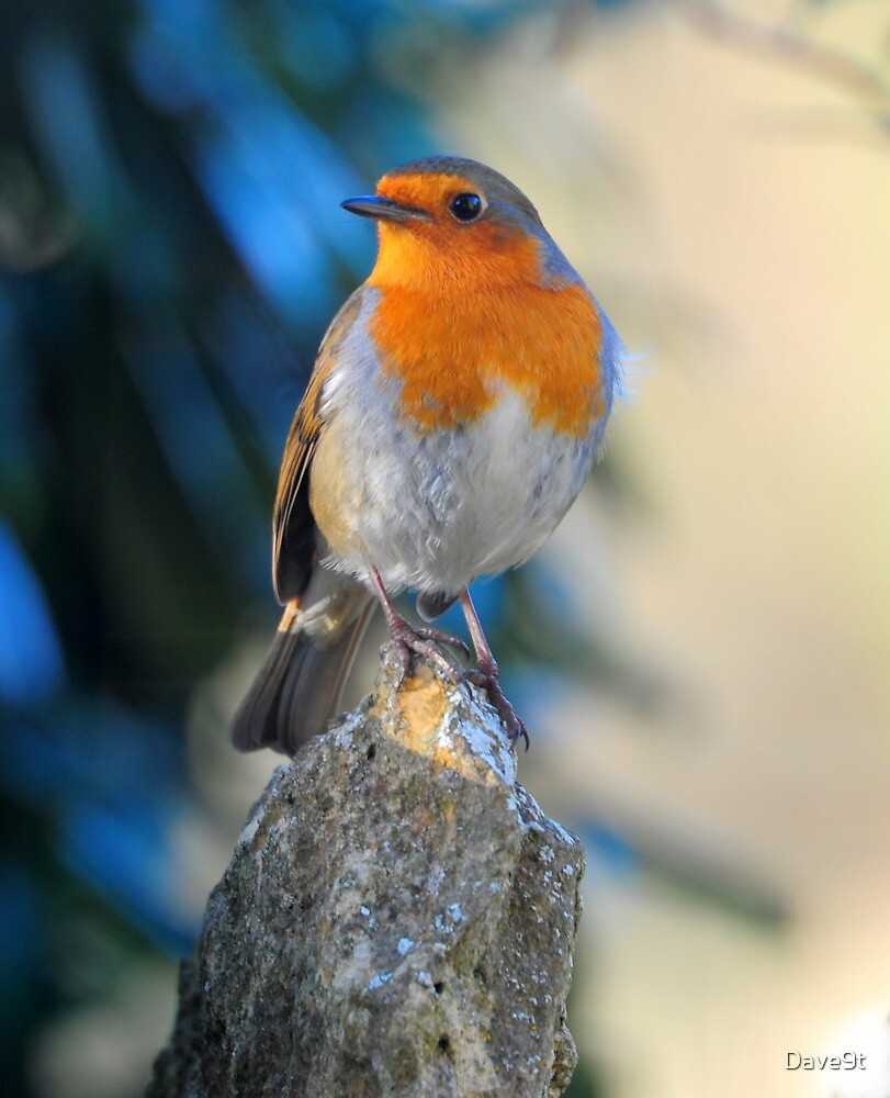 Robin by Dave9t