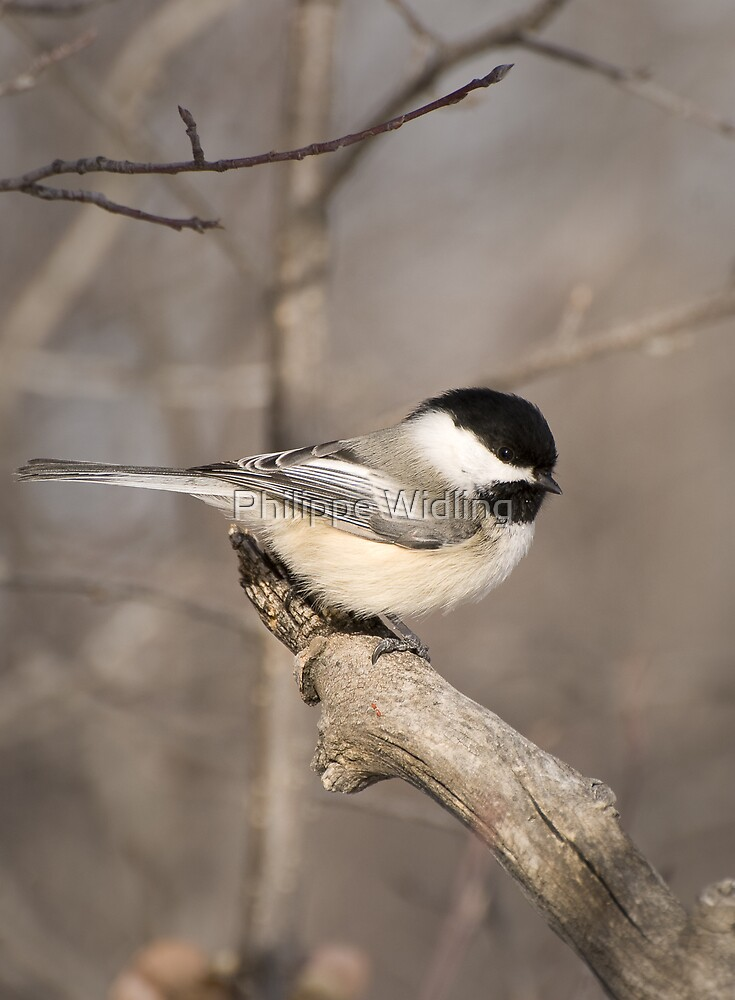 Chickadee by Philippe Widling