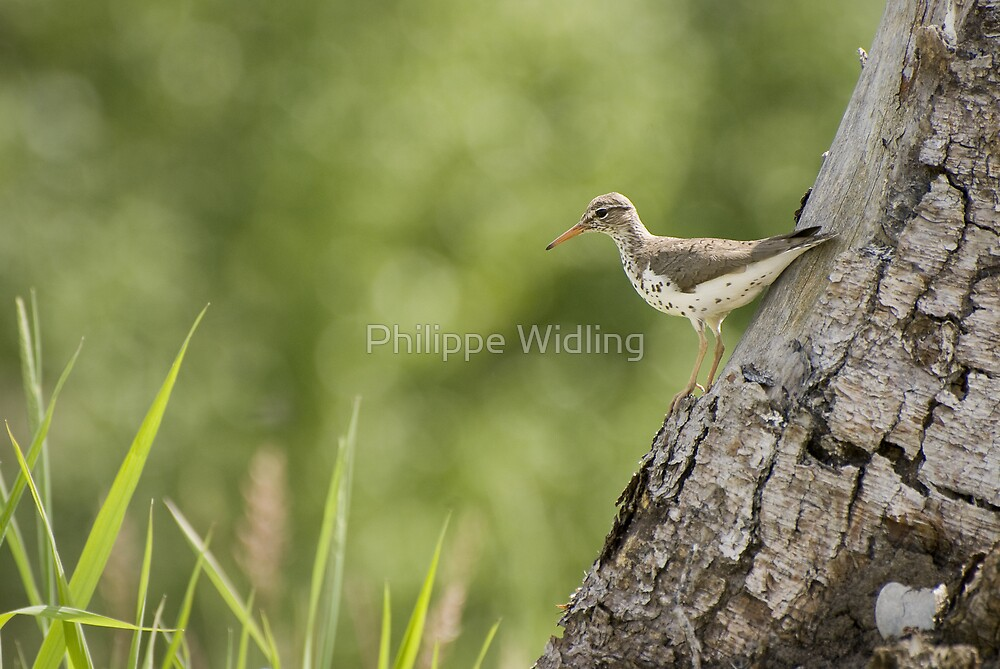 Spotted sandpiper by Philippe Widling