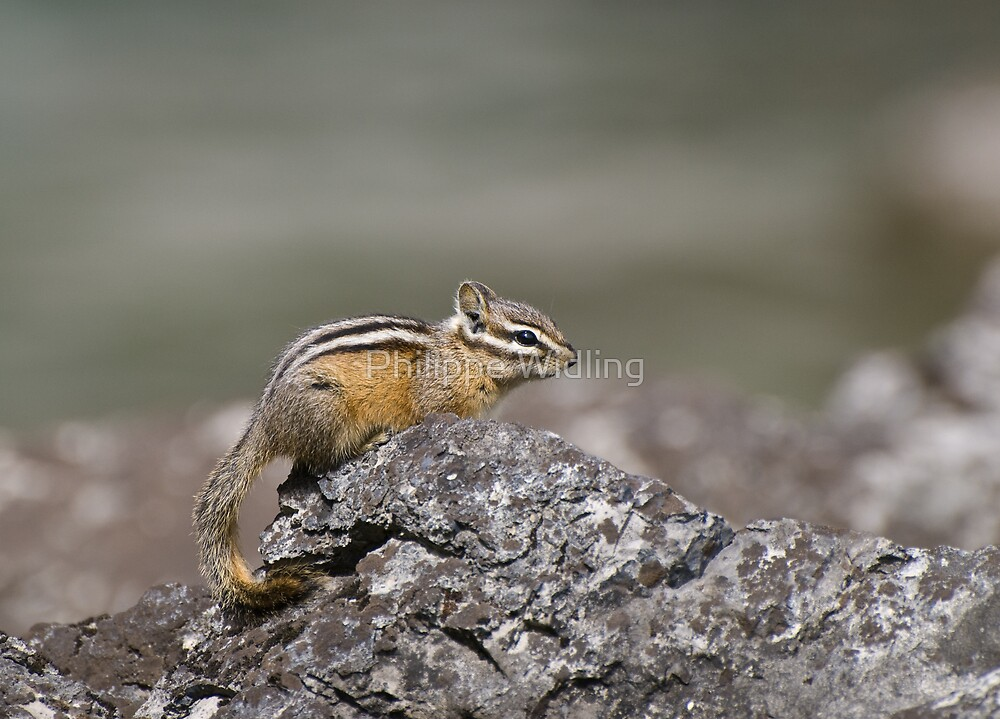 Chipmunk by Philippe Widling