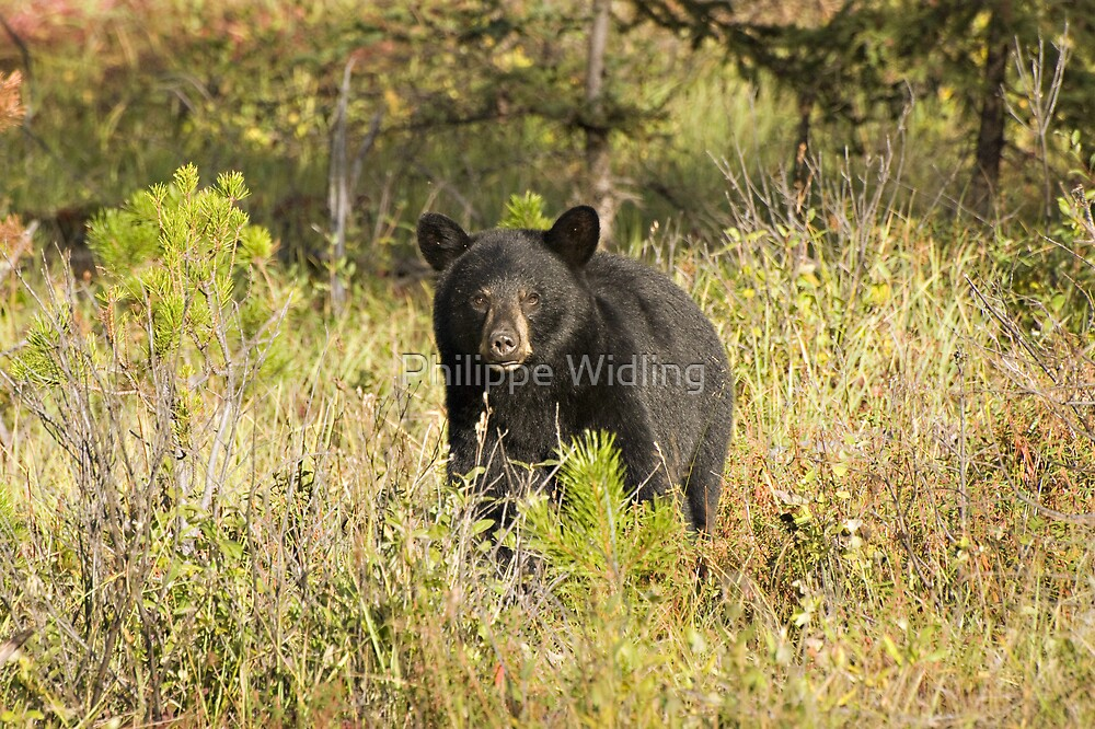 Young black bear by Philippe Widling