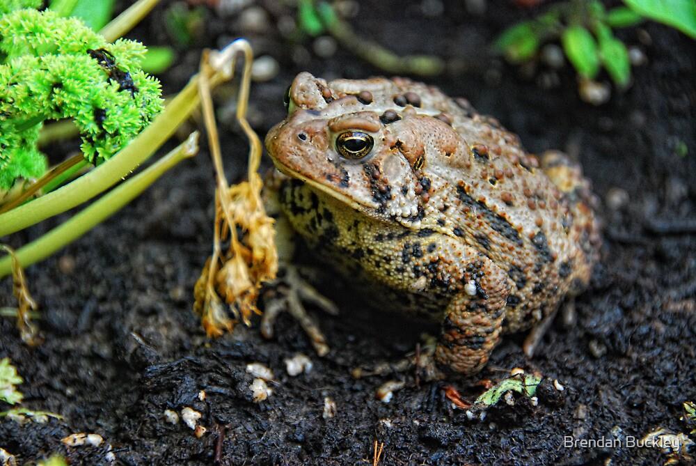 Mr Toad by Brendan Buckley