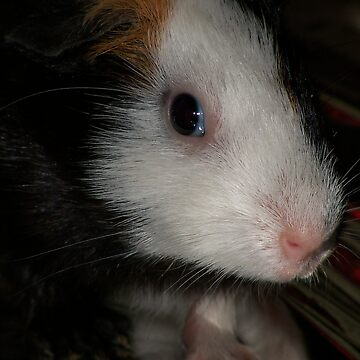 Guinea Pig by Godwin
