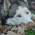 Leaves and Fall Husky Season by RealPainter