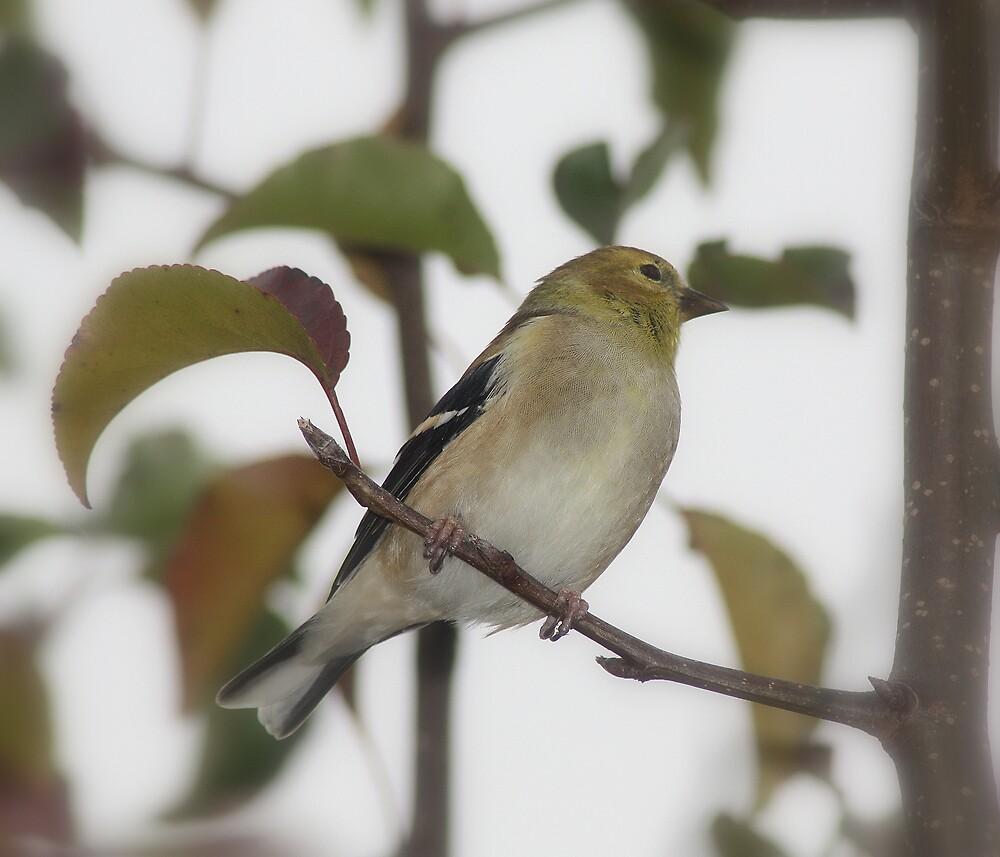 Goldfinch by rasnidreamer