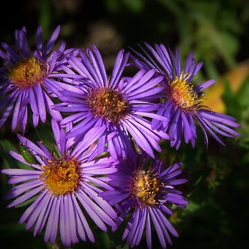 Autumn Asters  by lorilee