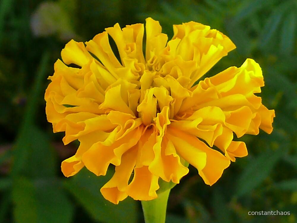 marigold by constantchaos