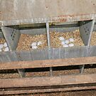 Eggs collected on a free range chicken farm  by PhotoStock-Isra
