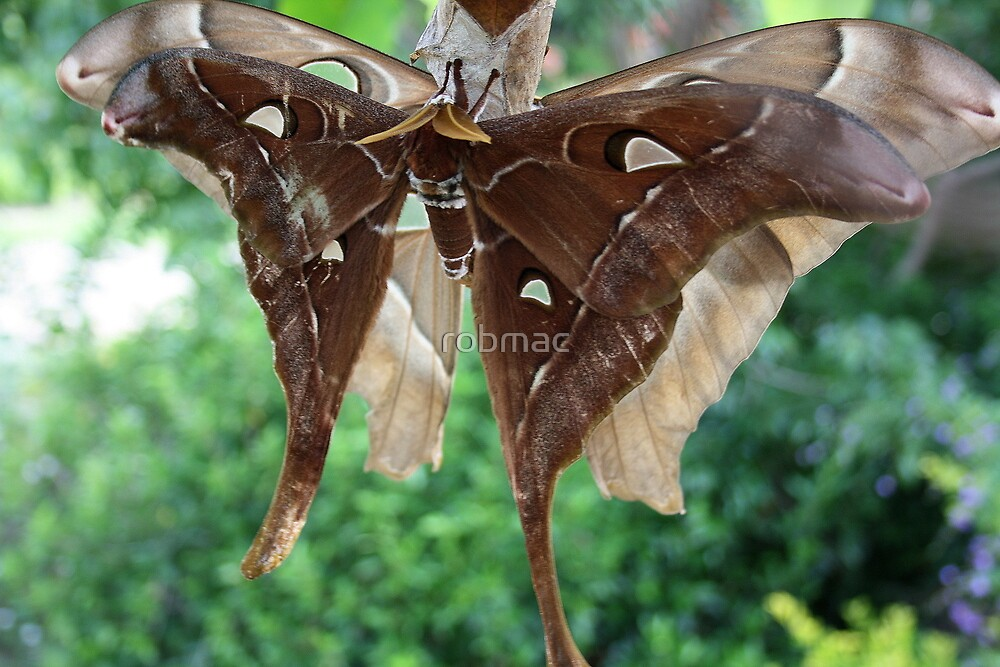 The male Hercules moth by robmac