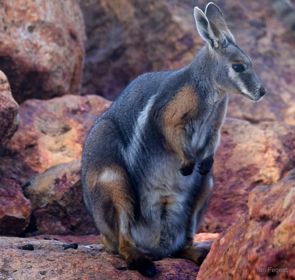 Yellow Footed Wallaby by Ian Fegent