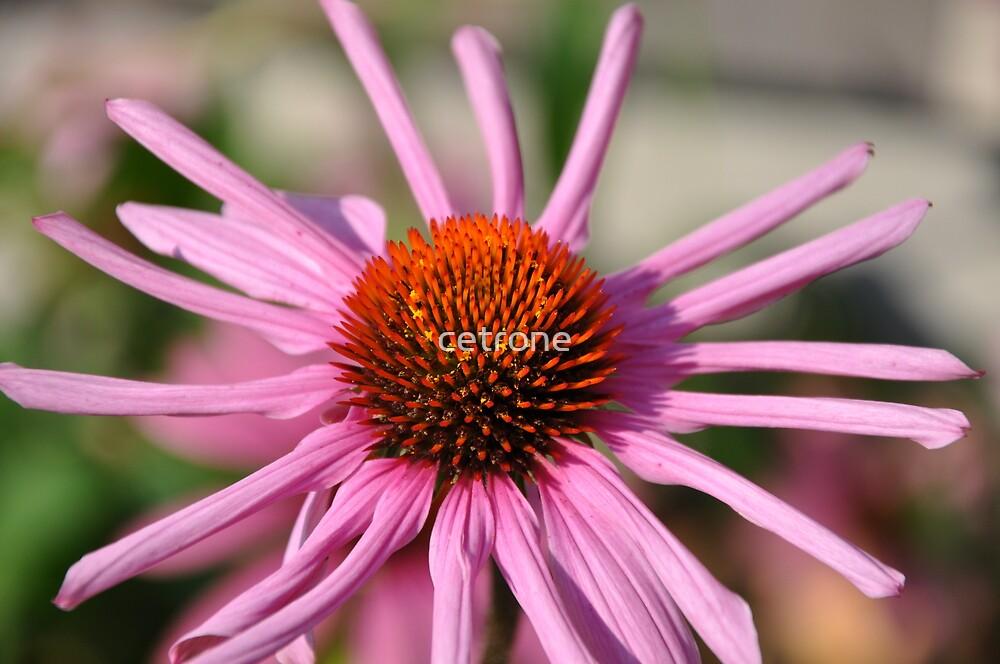 purple flower by cetrone