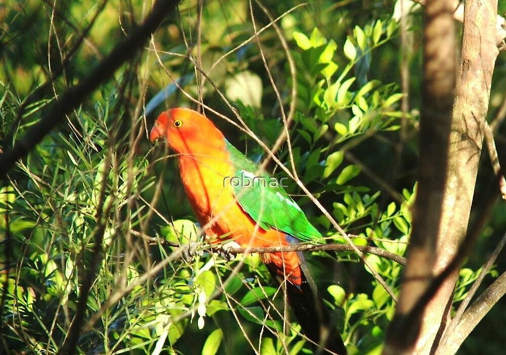 Male King Parrot by robmac