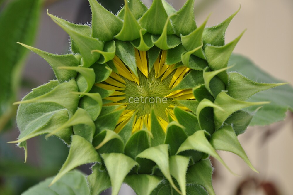 Sunflower_3 by cetrone