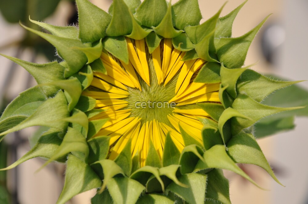 sunflower_4 by cetrone