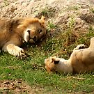 Lion Love - Tarangiri National Park, Tanzania by timstathers