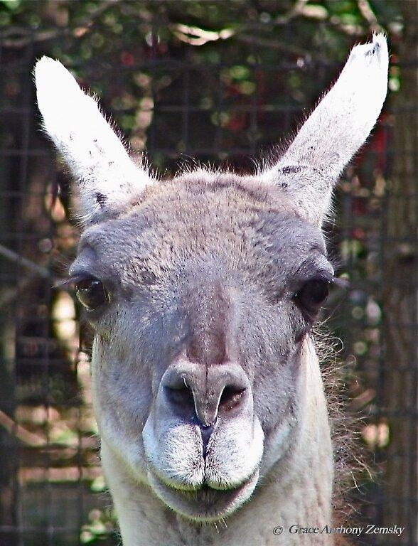 Long-Lashed Llama by GraceNotes