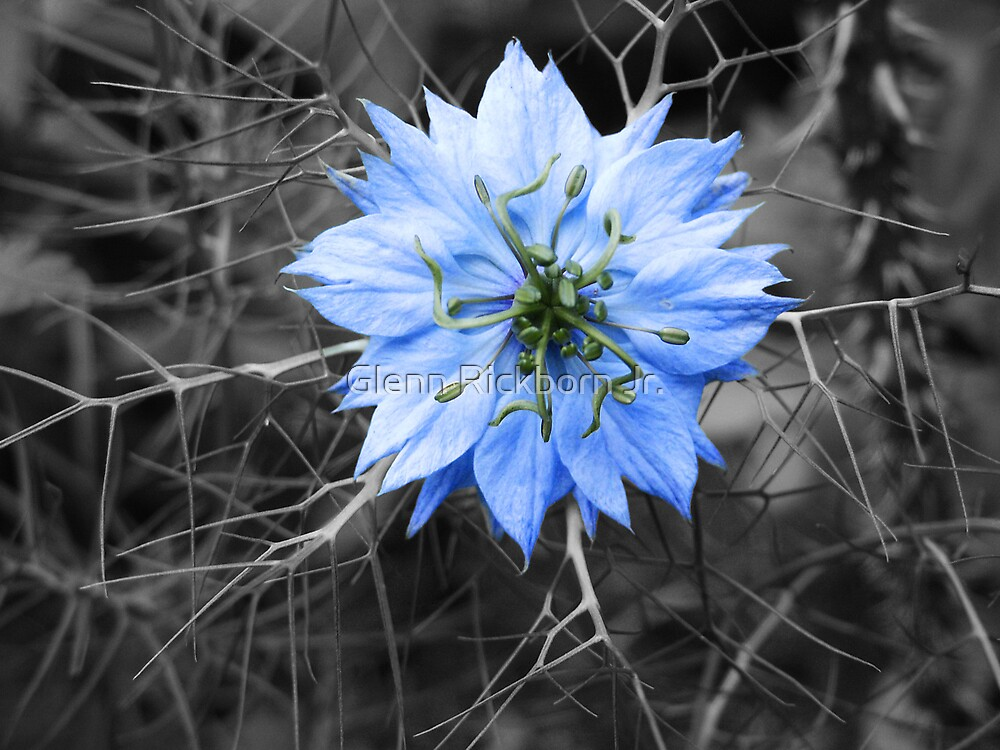 Love in a Mist by Glenn Rickborn Jr.