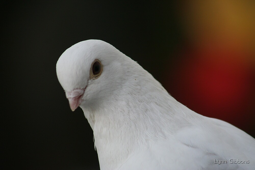 White Pigeon by Lynn  Gibbons