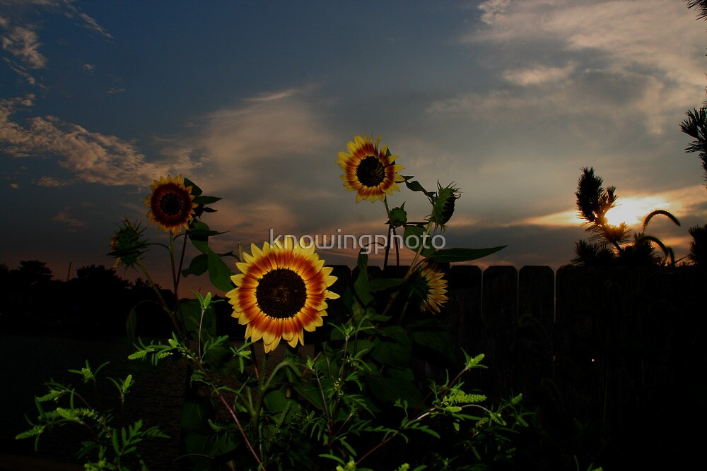 Sunflower Sunset by knowingphoto