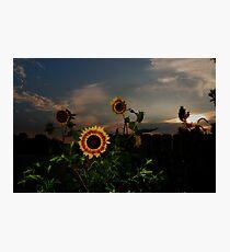 Sunflower Sunset Photographic Print