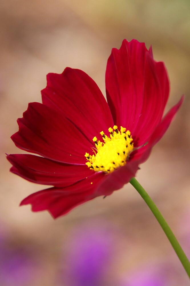 red cosmos by StaceyH