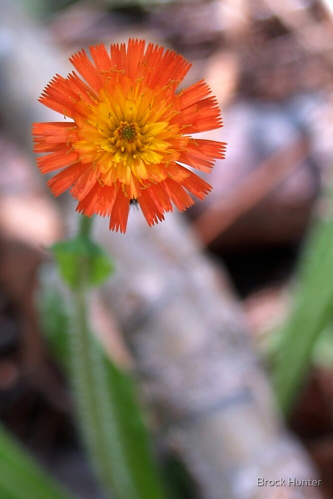 orange hawkweed by Brock Hunter