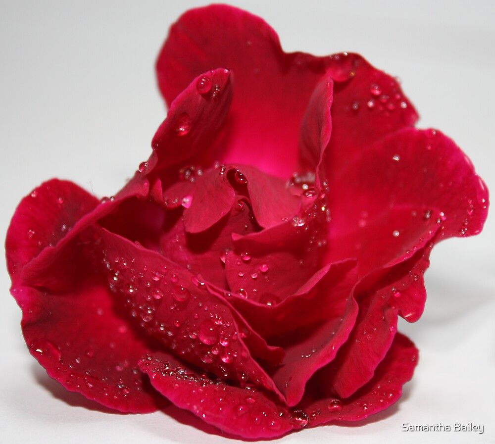 Ruby Red Rose by Samantha Bailey