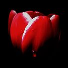 Red Tulip In The Shadows by hurmerinta