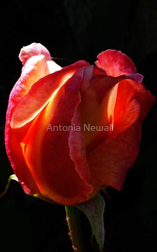 Rose light by Antonia Newall