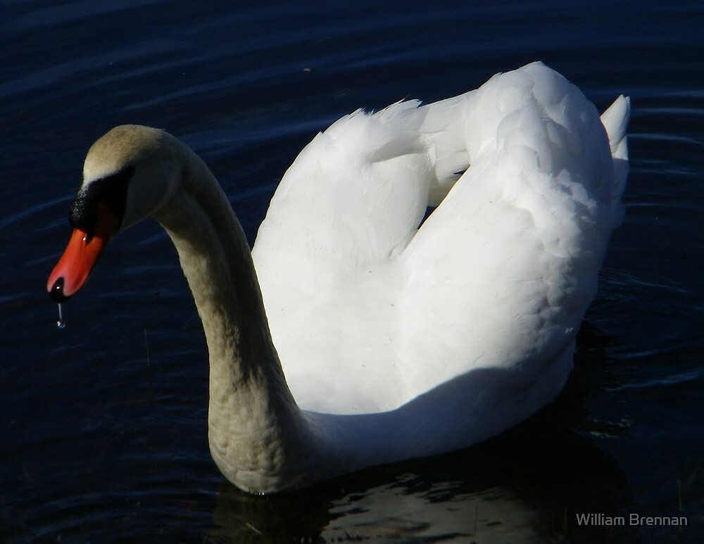 Up close and personal. A male mute swan. by William Brennan