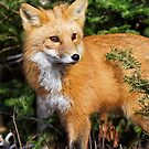 The Little Red Fox by lloydsjourney